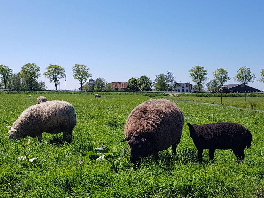 netherlands nature sheeps